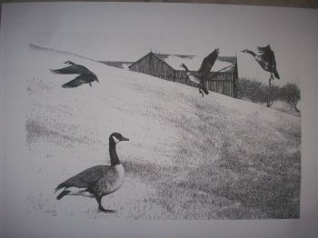 Canada Geese Pen & Ink Print