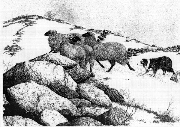 Sheep Dog Pen & Ink Print - Gene Matra Pen and Ink Drawings